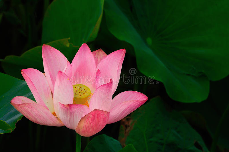 lotus photographie stock