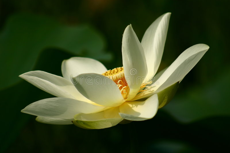 Lotus stock foto