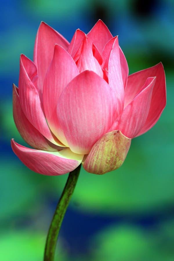 Free Lotus Stock Photo - 5284120