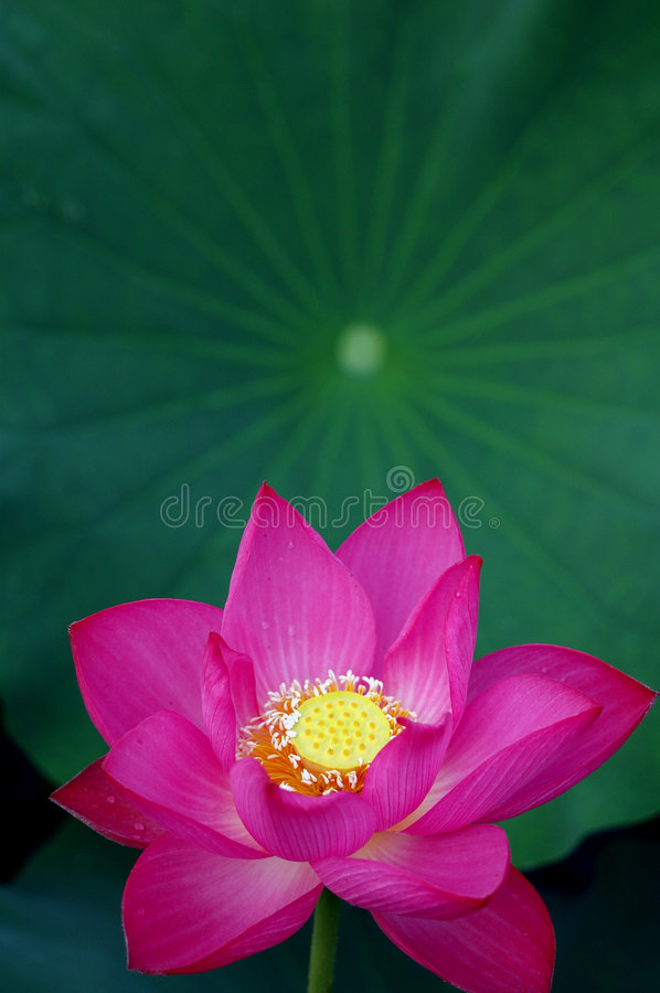Free Lotus Royalty Free Stock Photography - 5731177