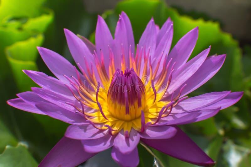 Lotus zdjęcia stock