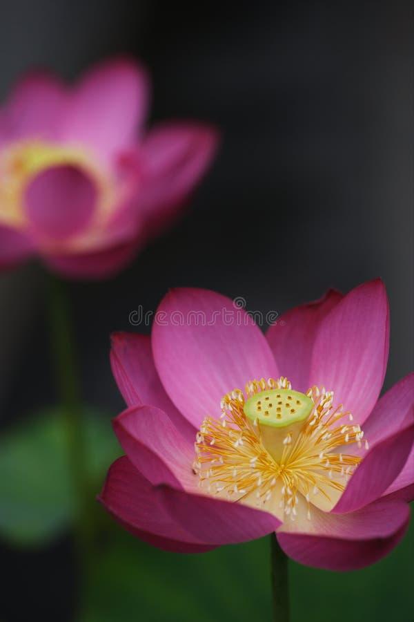 Lotus royalty free stock images