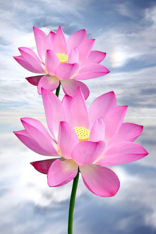 Free Lotus Stock Photography - 6243832