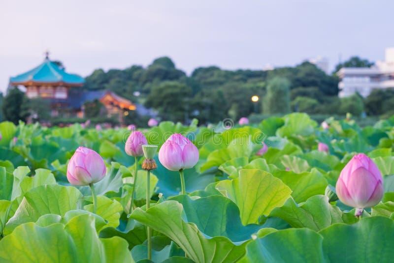 Lotus стоковые фото