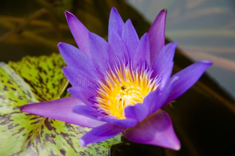 lotus fotografia de stock