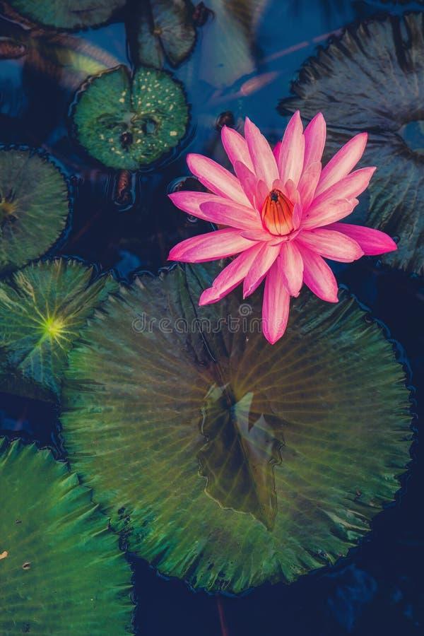 lotus photo stock