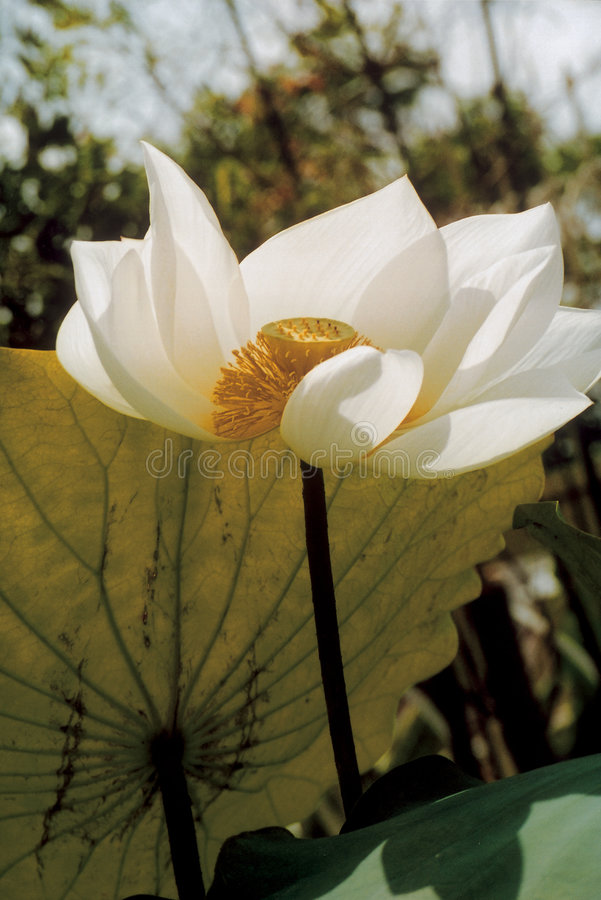 Lotus Royalty Free Stock Photography