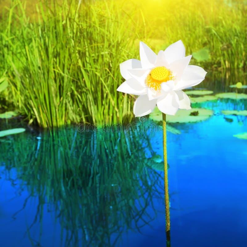 Download Lotus image stock. Image du floral, asie, simple, bleu - 8672867