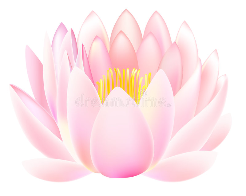 Lotus. Vector illustration of lotus isolated on white background