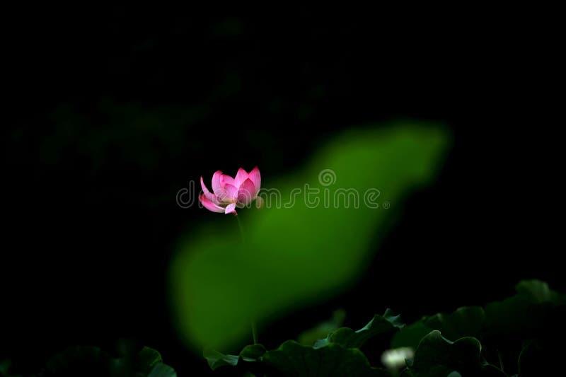 Lotus royaltyfri fotografi