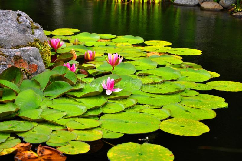 Lotus. Water lily or lotus in a botanical garden royalty free stock images