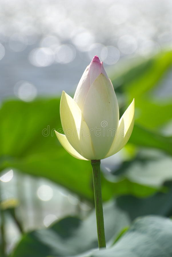 Download Lotus stock image. Image of background, calm, beautiful - 9865541