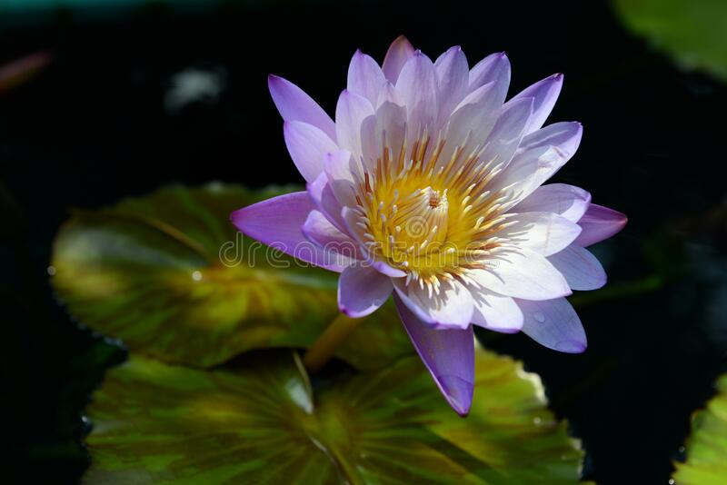 Lotus above the water royalty free stock images