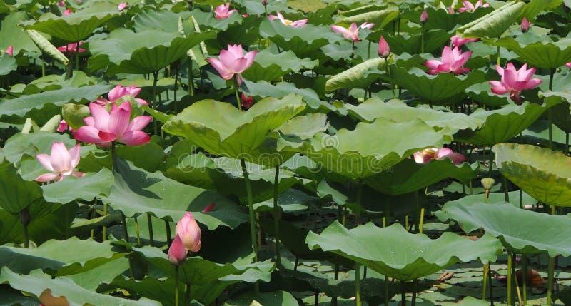 Lotus-alleen tribune stock afbeelding