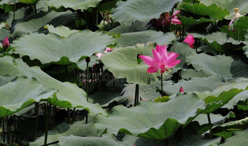Lotus-alleen tribune stock afbeeldingen