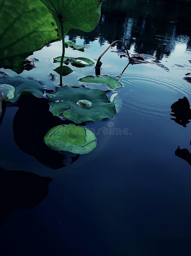 Lotus após a chuva imagem de stock