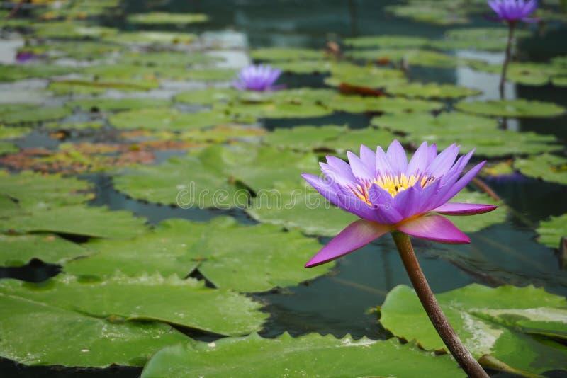 Lotus au-dessus de l'eau photos stock