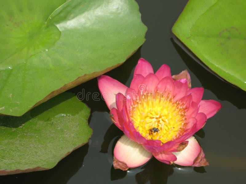 Lotus auf Wasser lizenzfreies stockfoto