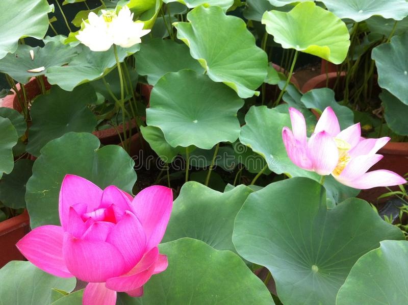 Lotus avec cette rosée images libres de droits
