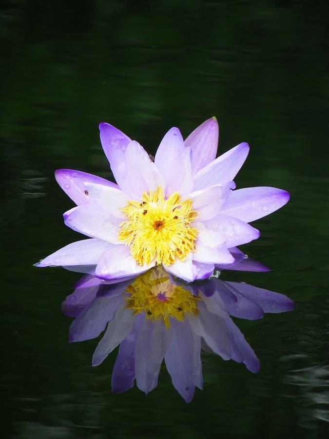 Lotus avec des réflexions pourpres image libre de droits