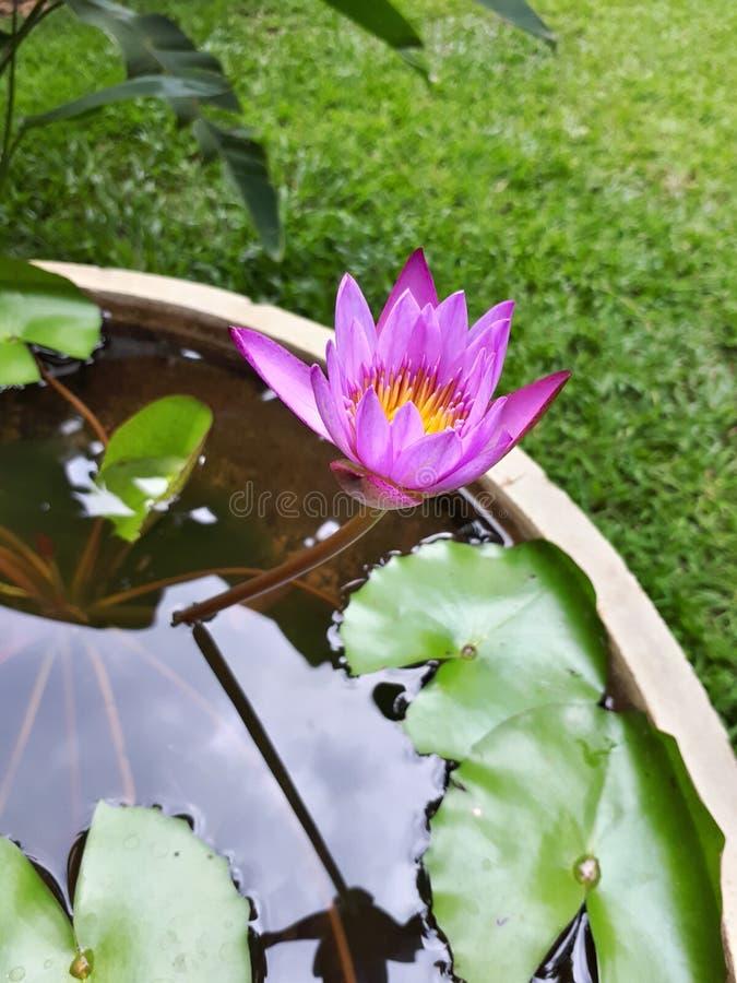 Lotus azul imagem de stock