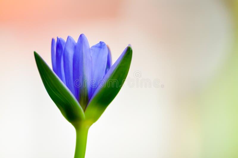 Lotus azul fotos de archivo