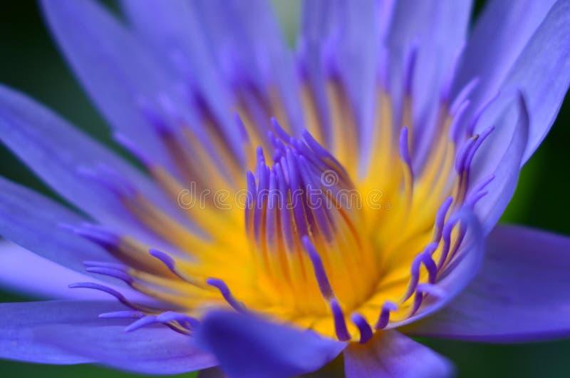 Lotus azul imagenes de archivo