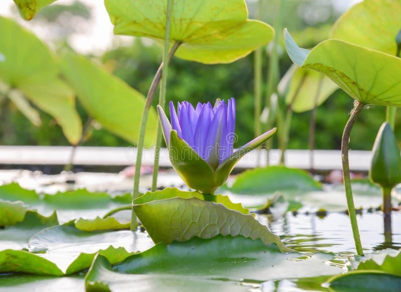 Lotus Background images libres de droits