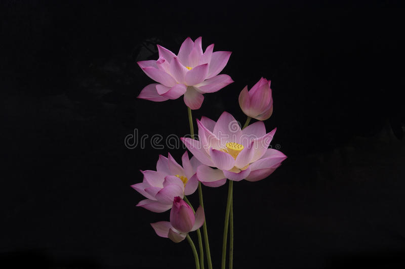 LOTUS royalty free stock photo