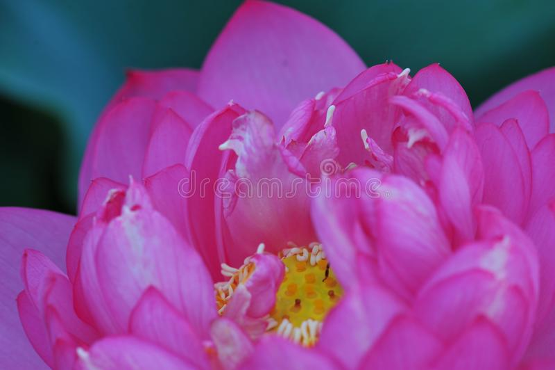 Lotus beauty~Close-omhoog stock foto's
