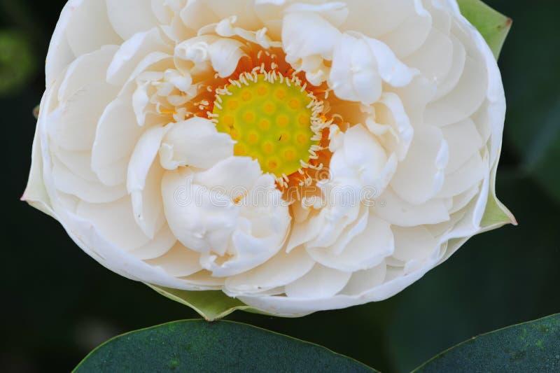Lotus beauty~Close-omhoog royalty-vrije stock foto