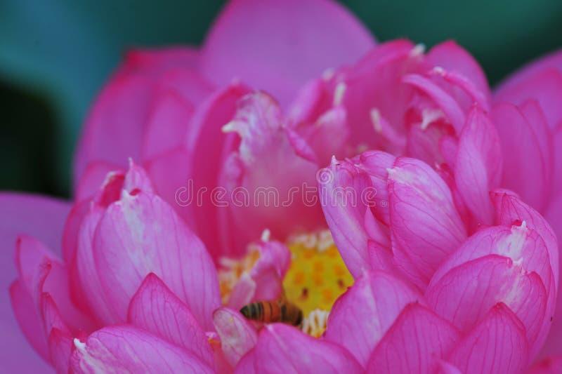 Lotus beauty~Close-omhoog stock afbeelding
