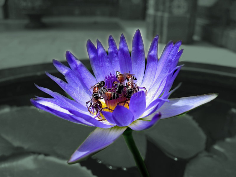 Lotus And Bee Stock Photo