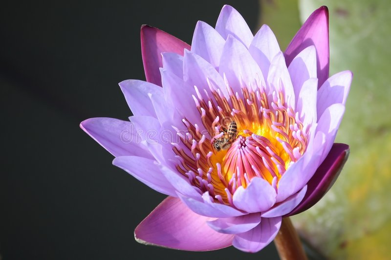 Lotus with bee stock image