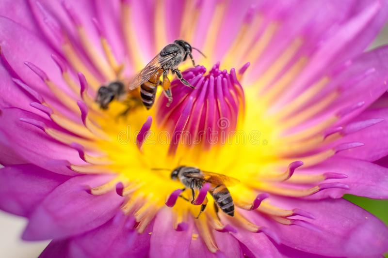 Lotus with bees royalty free stock images