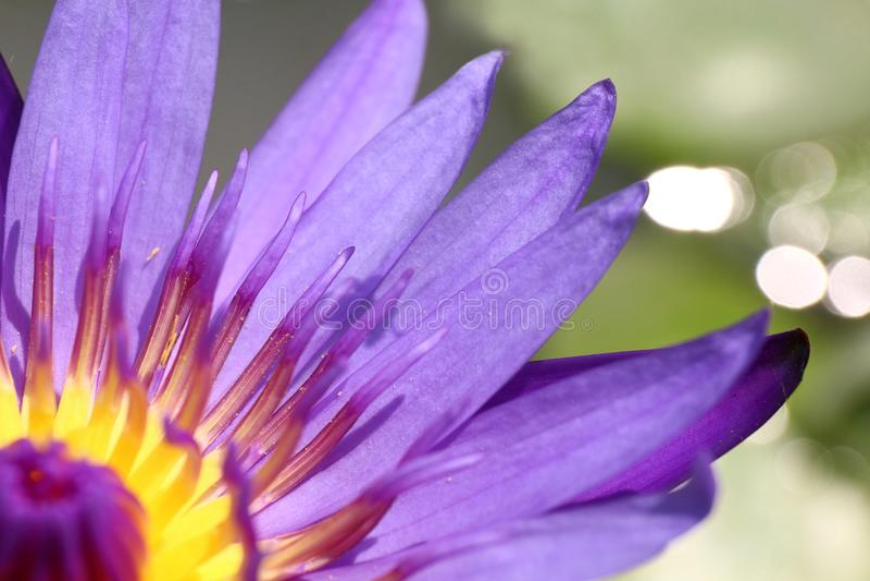 Lotus bello, fine porpora sul fiore, fine del carpello del loto del fiore di Lotus su, natura del fiore di Lotus immagine stock libera da diritti