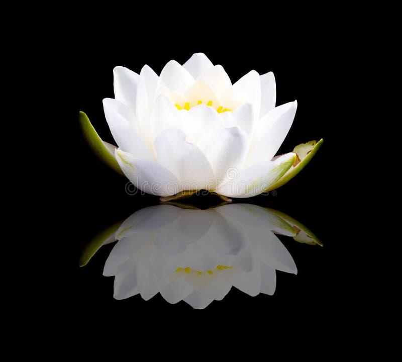 Lotus bianco e riflessione fotografie stock