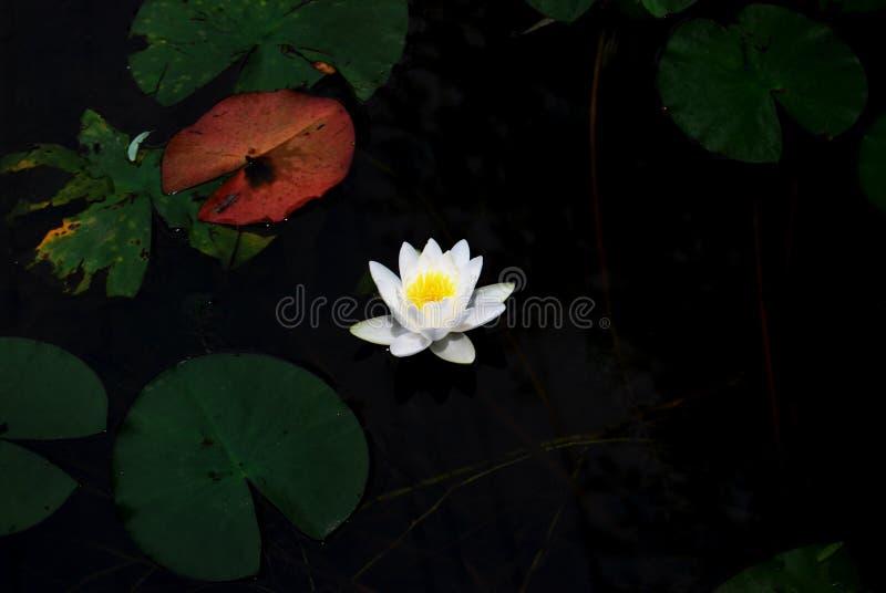 Lotus bianco nello stagno fotografia stock libera da diritti
