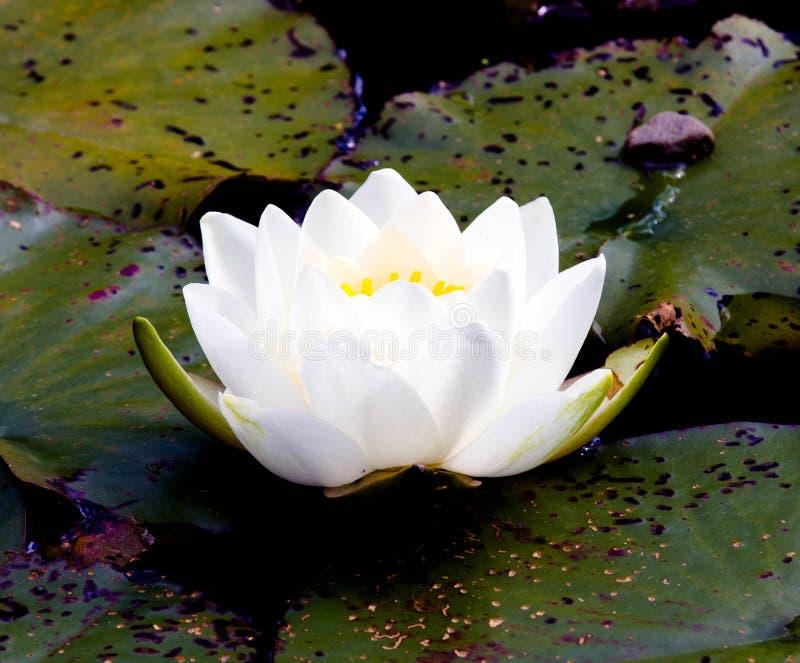 Lotus bianco sullo stagno fotografia stock