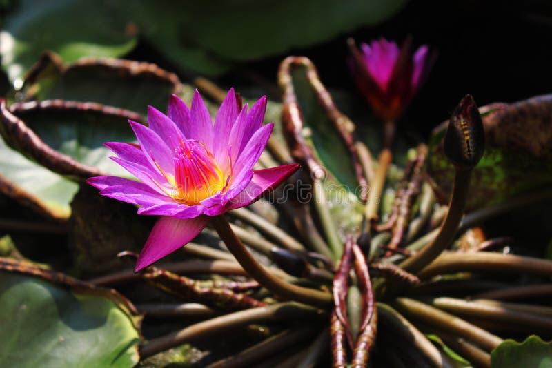 Lotus bij het water royalty-vrije stock afbeeldingen