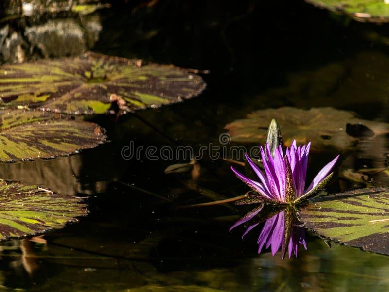 Lotus-Blüte, die in Wasser, purpurrote magentarote Blüte reflektiert im Teich, ruhiger ruhiger Hintergrund für Meditation Wellnes lizenzfreies stockfoto