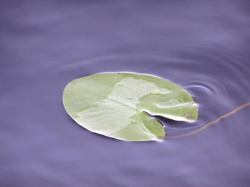 Lotus-blad en Donker water van meer onder zonlicht met glans en bezinningen royalty-vrije stock afbeeldingen