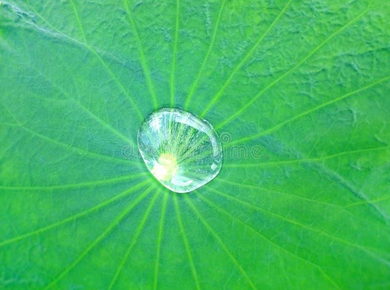 Lotus blad med vattendroppbakgrund royaltyfri foto