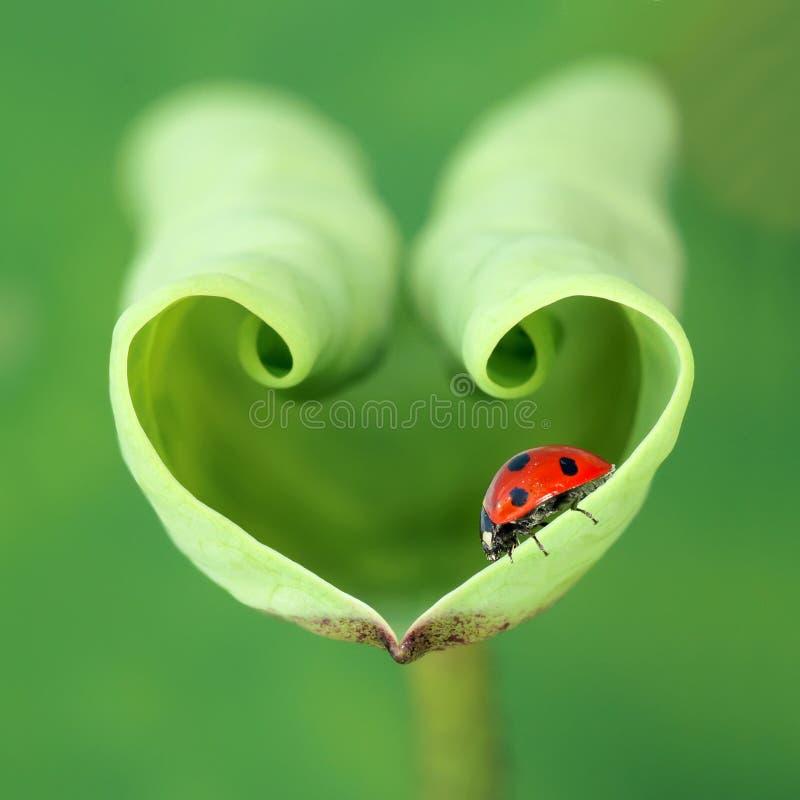 Lotus blad och nyckelpiga fotografering för bildbyråer