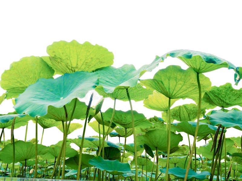 Lotus bladgräsplan som isoleras på vit bakgrund arkivfoto