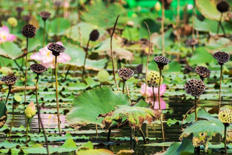 Lotus-bladmatrijs stock afbeeldingen