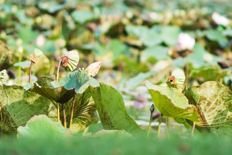 Lotus-bladmatrijs stock foto's