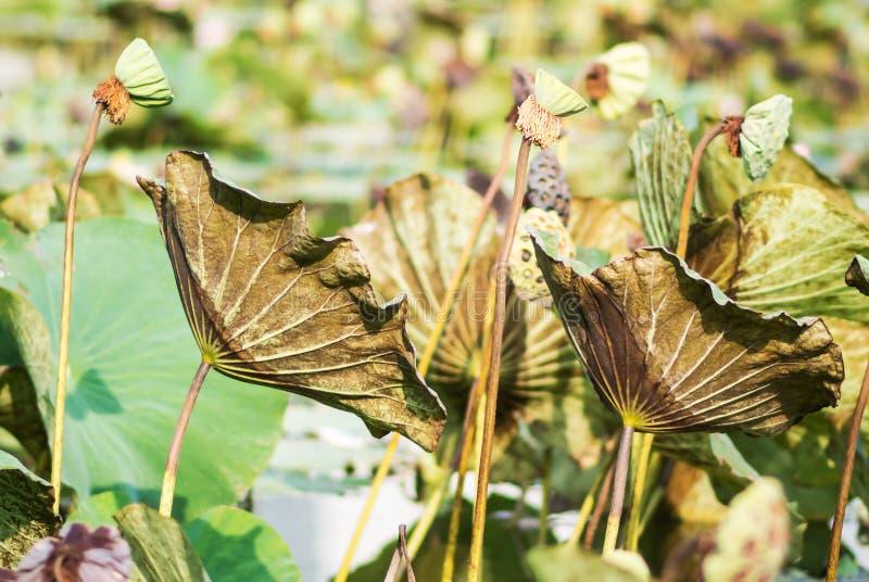 Lotus-bladmatrijs royalty-vrije stock fotografie