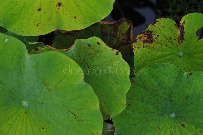 Lotus-bladtextuur stock afbeelding