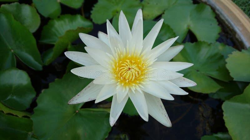 Lotus blanc photographie stock